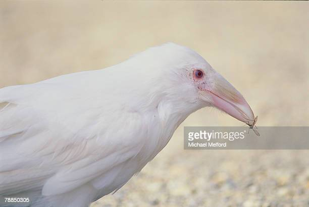 Portrait of an albino raven with an insect in its bill.