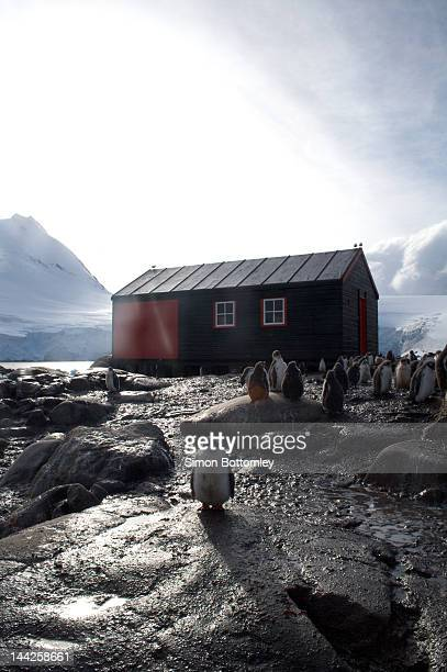 port lochroy penguin chick - houses in antarctica stock pictures, royalty-free photos & images