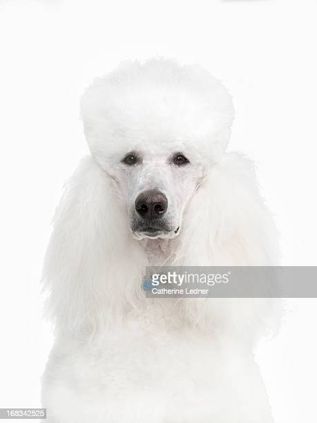 Portaif of White Poodle