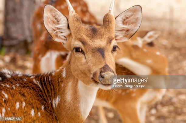 portait of a chital deer in a zoo - white tail buck stock photos and pictures