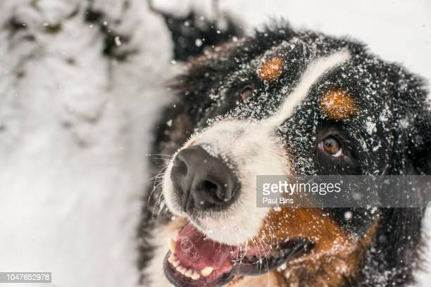 Portait of a male Bernese Mountain Dog