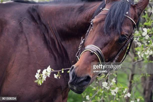 portait of bay horse around sakura blossom - bay horse stock photos and pictures