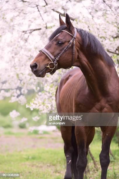 portait of bay horse around sakura blossom - stallion stock pictures, royalty-free photos & images