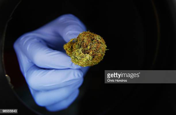 A portion of marijuana is seen under a magifying glass at 'Abundant Healing' store April 19 2010 in Fort Collins Colorado Abundent Healing is one of...