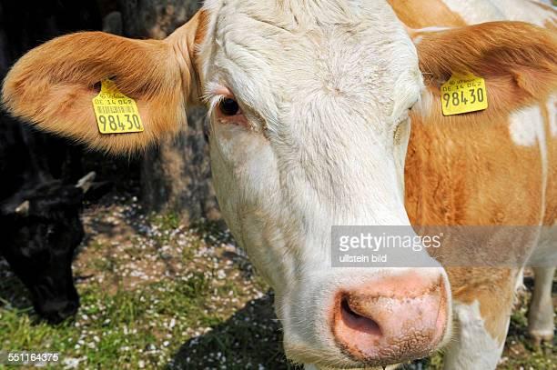 Portraet einer Kuh der HybridRinderrasse rotes Niederungsfleckvieh ein Fleischrind auf der Weide