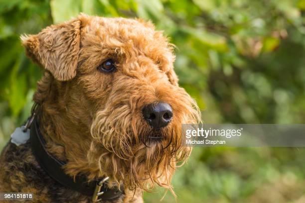 Portrait Airedale Terrier
