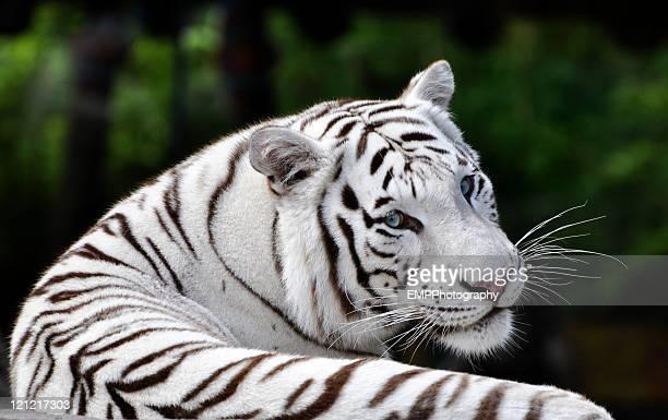 美しい白 Bengal Tiger