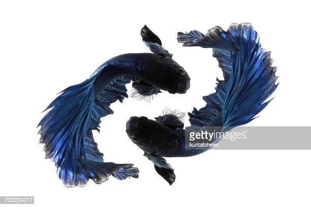 Portrait betta fish, Indonesia