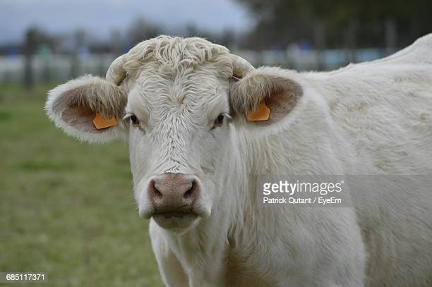 Portrait Close-Up Of White Cow In Field
