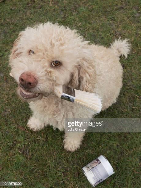 portrait cute labradoodle holding paintbrush - bricolage humour photos et images de collection