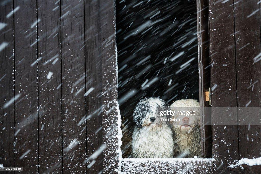Portrait dogs watching snow from barn window : Stockfoto