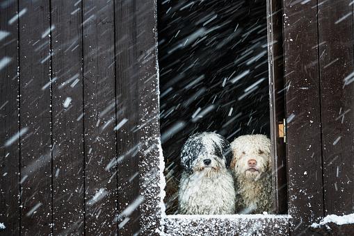Portrait dogs watching snow from barn window - gettyimageskorea