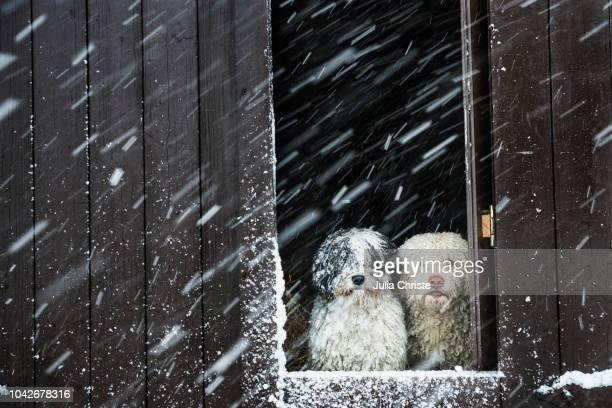 portrait dogs watching snow from barn window - winter weather stock photos and pictures