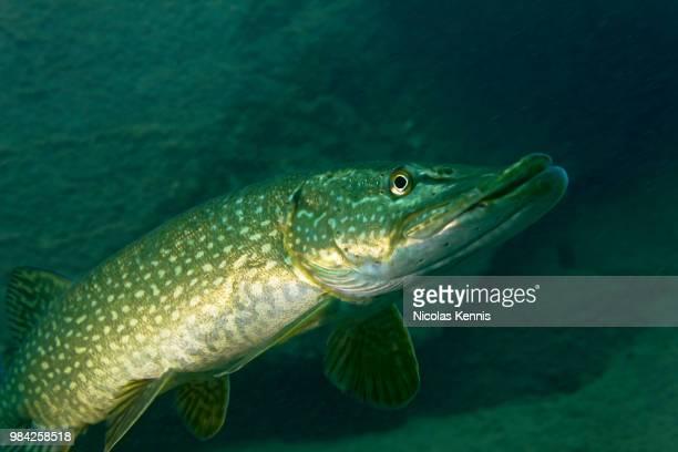 portrait d'un brochet i - pike fish stock pictures, royalty-free photos & images