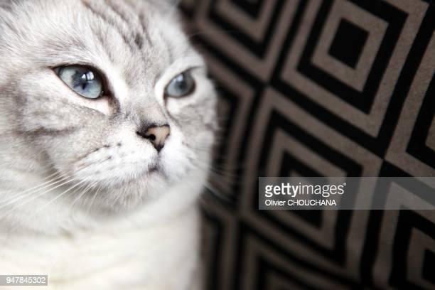 """Portrait d'un chat de la race des""""'British Short Hair', le 2 février 2016, Singapour."""