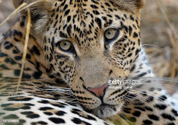 portrait from tjololo the world's most famous leopard - kruger national park stock pictures, royalty-free photos & images