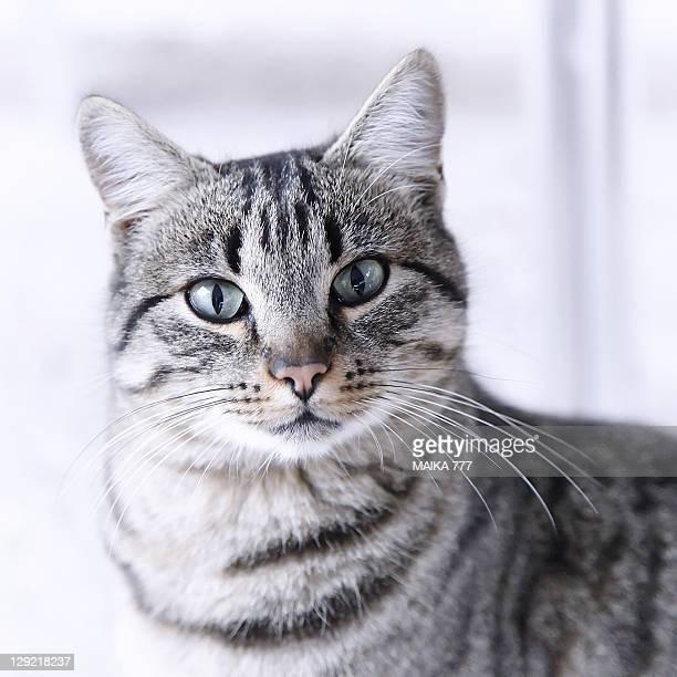 Portrait gray tabby cat