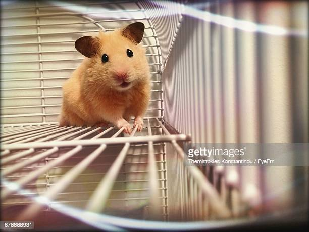 portrait hamster in cage - hamster photos et images de collection