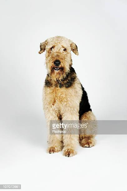 Portrait if an Airedale Terrier