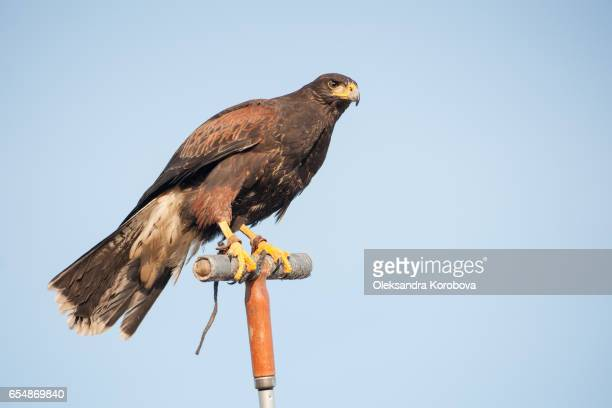 portrait in profile of a harris's hawk looking into the distance. - istock photos et images de collection