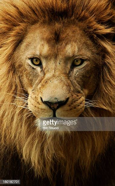 portrait male african lion - lion feline stock pictures, royalty-free photos & images