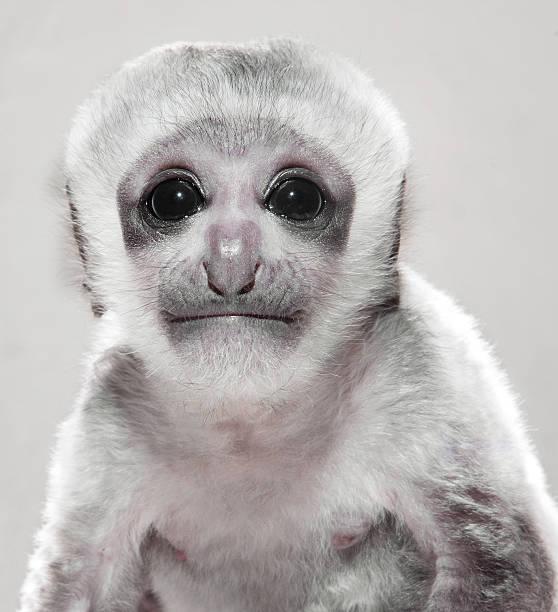 Portrait of 3 week old Monkey