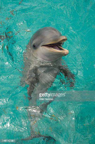 Portrait of a baby Atlantic bottlenose dolphin Curacao Netherlands Antilles