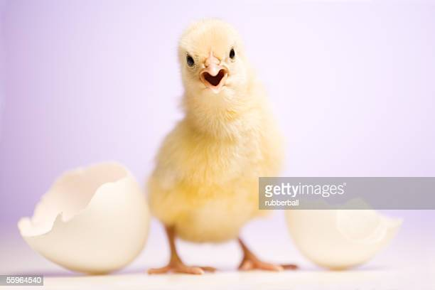 Portrait of a baby chicken beside broken white eggshell
