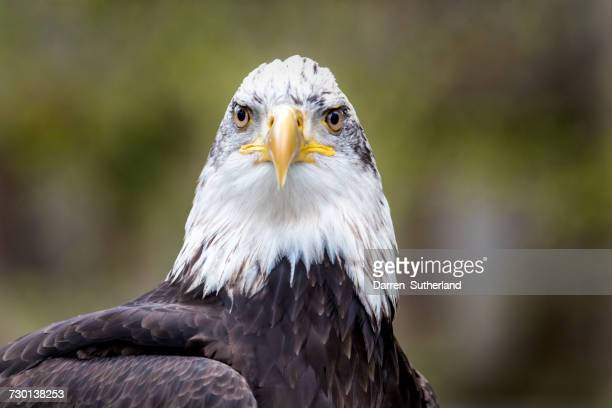 Portrait of a bald eagle, British Columbia, Canada
