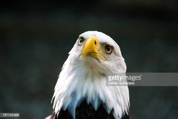 Portrait of a Bald Eagle, Duncan, Cowichan valley, British Columbia, Canada
