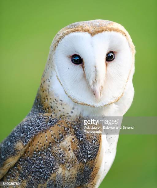 portrait of a barn owl (tyto alba) in captivity on long island - barn owl stock photos and pictures