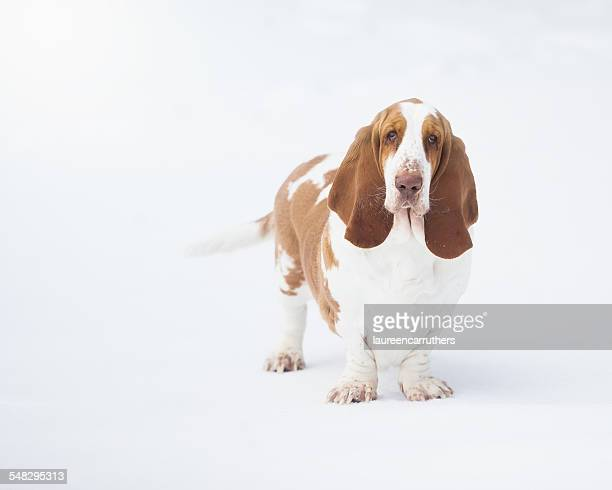 portrait of a basset hound dog - basset hound stock pictures, royalty-free photos & images