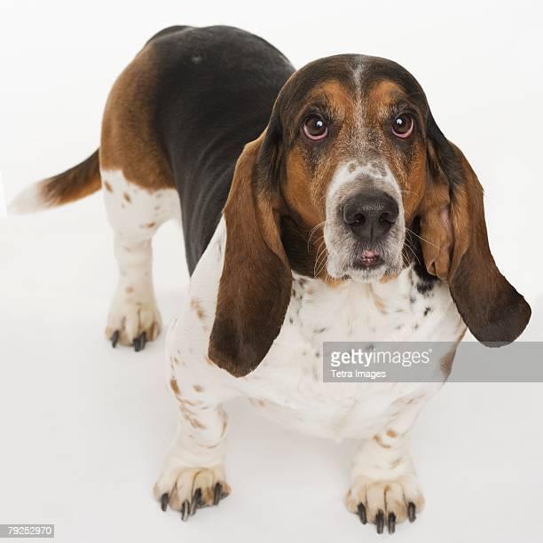 Portrait of a bassett hound