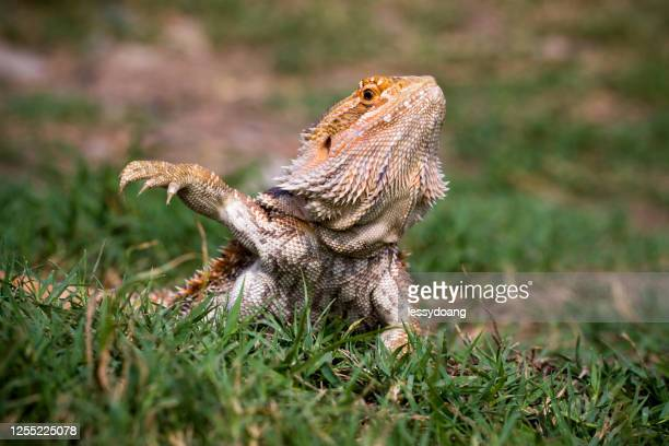 portrait of a bearded dragon in the grass, indonesia - bearded dragon stock pictures, royalty-free photos & images