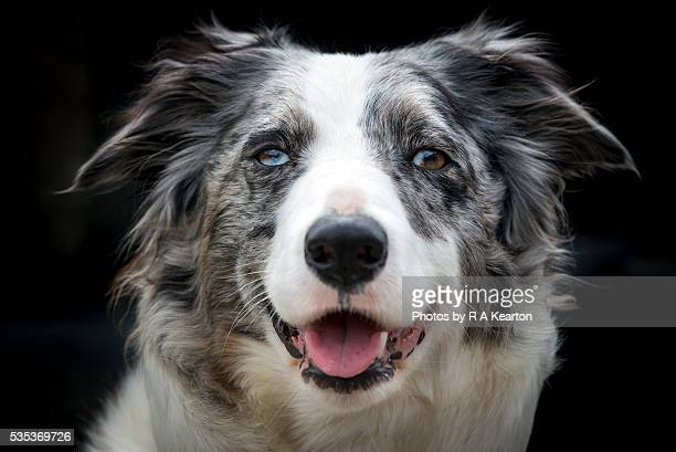 Portrait of a beautiful Blue Merle Collie