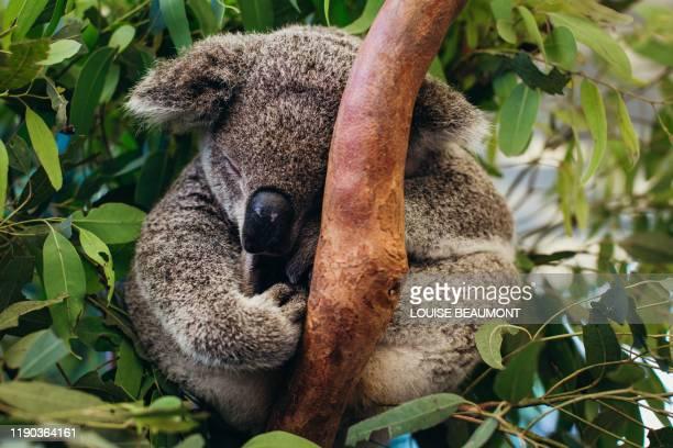 portrait of a beautiful healthy koala - île d'hamilton photos et images de collection