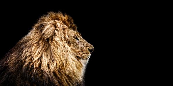 Portrait of a Beautiful lion, Cat in profile, lion in dark 941145498