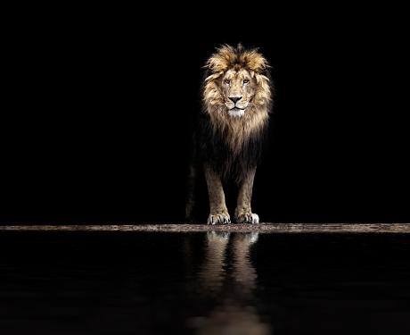 Portrait of a Beautiful lion, lion at waterhole 598544912
