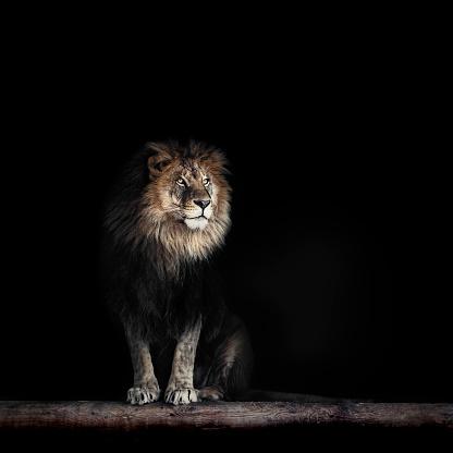 Portrait of a Beautiful lion, lion in dark 941144222