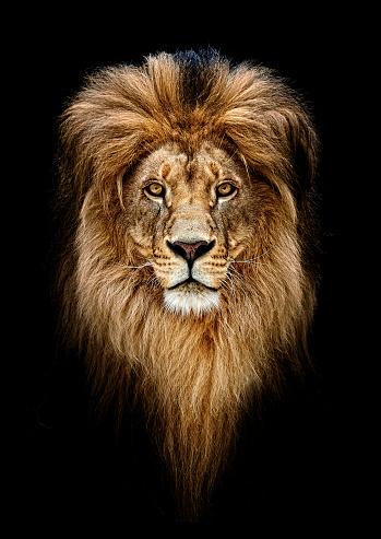 Portrait of a Beautiful lion, lion in dark 942169146