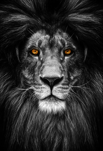 Portrait of a Beautiful lion, lion in dark 942169458
