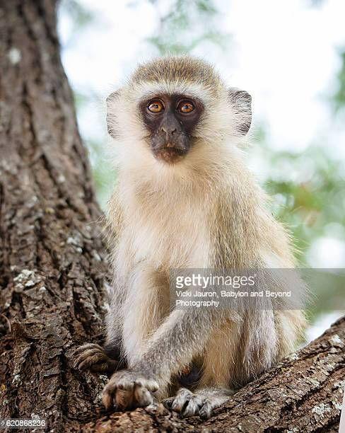 Portrait of a Beautiful Vervet Monkey in a Tree at Tarangire National Park in Tanzania