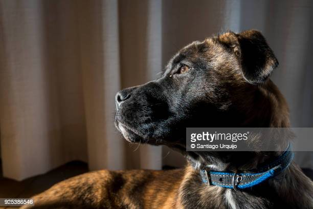 portrait of a belgian malinois puppy - belgian malinois stock photos and pictures