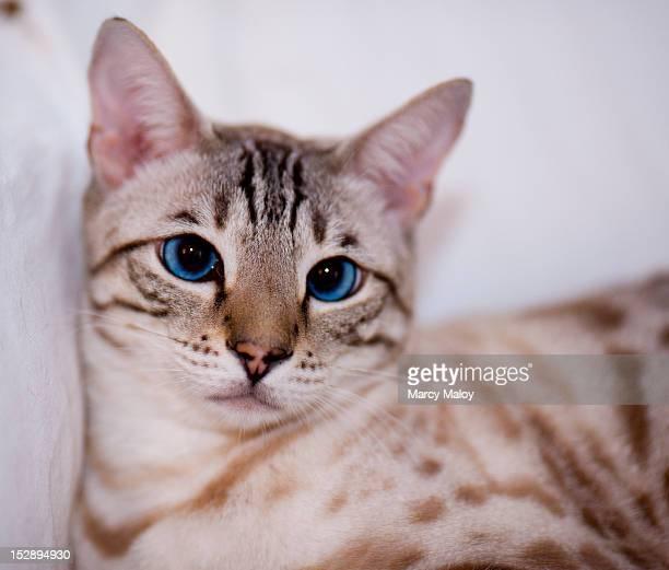 Portrait of a bengal cat's face.