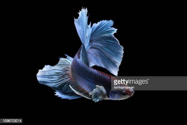 portrait of a betta fish, indonesia - 熱帯魚 ストックフォトと画像