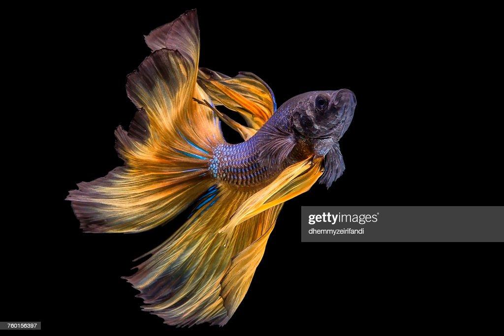 Portrait of a Betta fish : Stock Photo