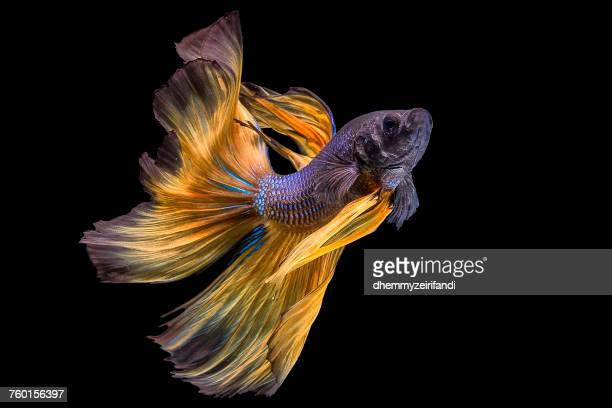 portrait of a betta fish - undersea stock pictures, royalty-free photos & images