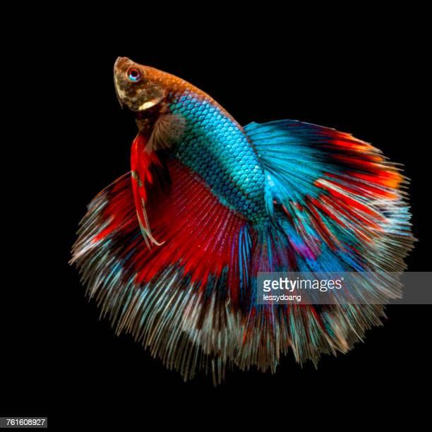 portrait of a betta fish - 熱帯魚 ストックフォトと画像