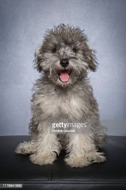 portrait of a bichon frise x miniature schnauzer puppy looking at the camera on a gray background - 動物の舌 ストックフォトと画像