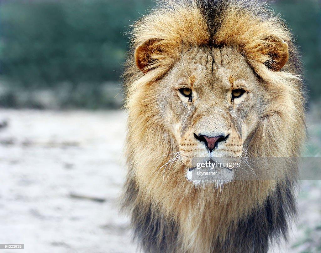 Portrait of a big male lion : Stock Photo